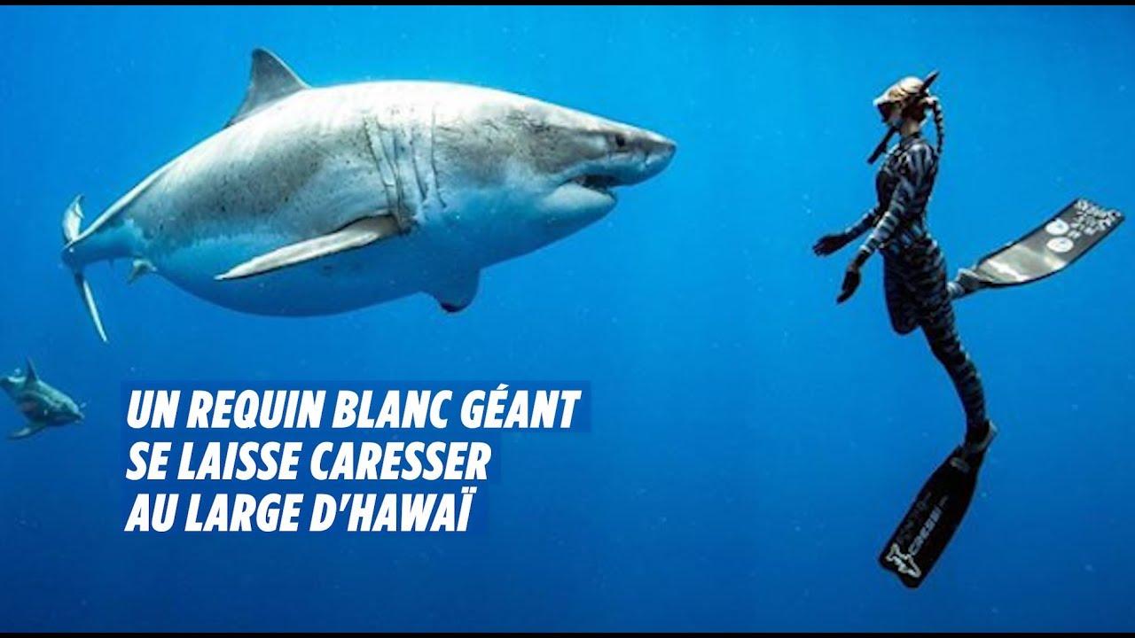 A Hawaï, Des Plongeurs Nagent Avec Un Requin Blanc Géant intérieur Jeux Gratuit Requin Blanc