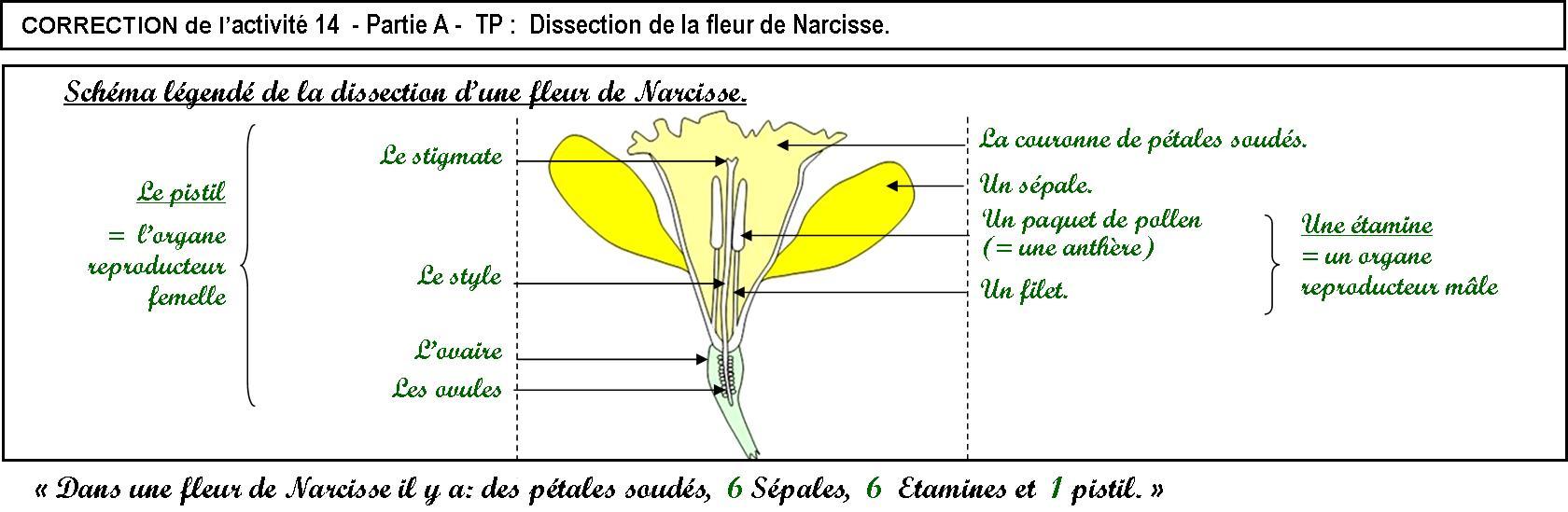 Activité 14 Et Activité 15 (= Dm ) - Svt - Collège Condorcet destiné Schéma D Une Fleur