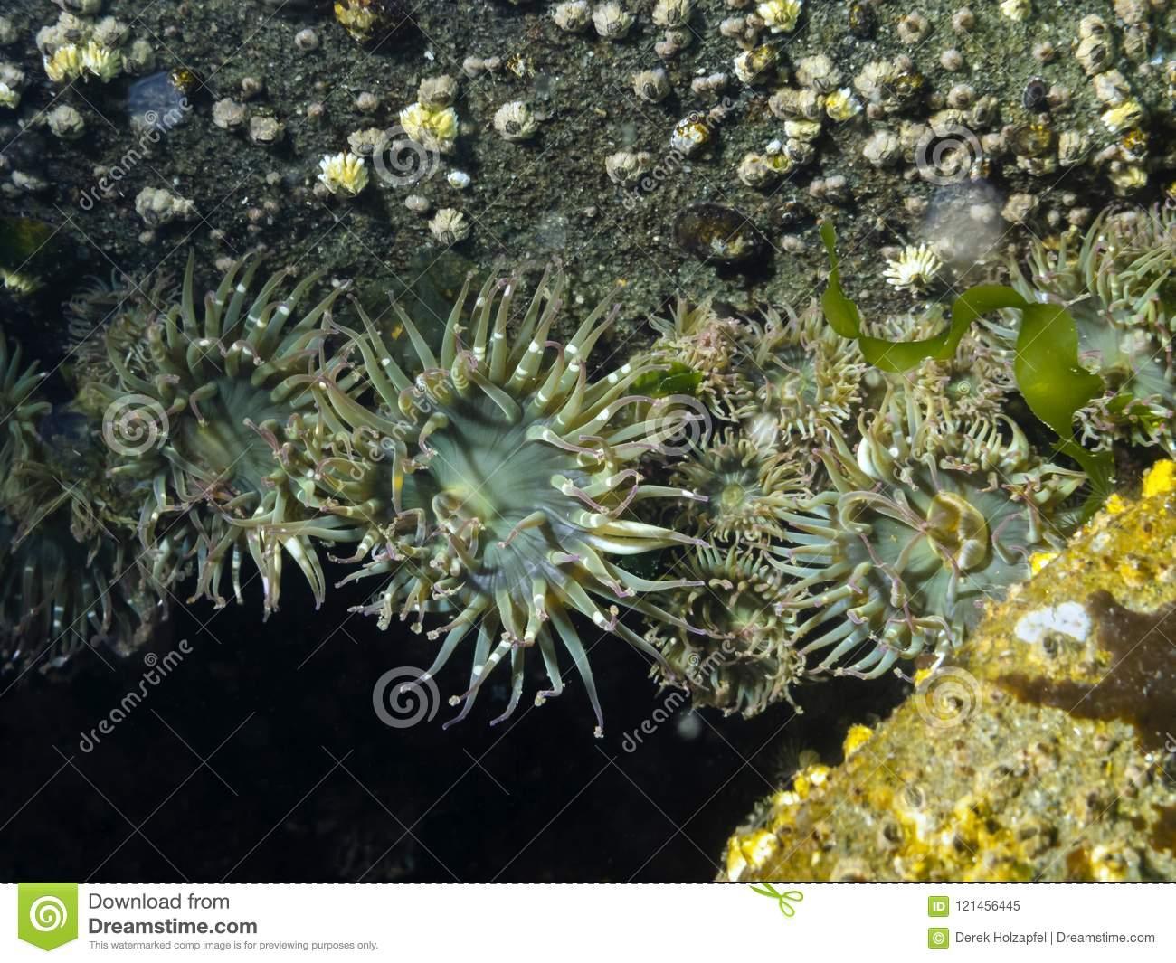 Agglomération De L'elegantissima D'anemone Anthopleura De encequiconcerne Anémone Des Mers