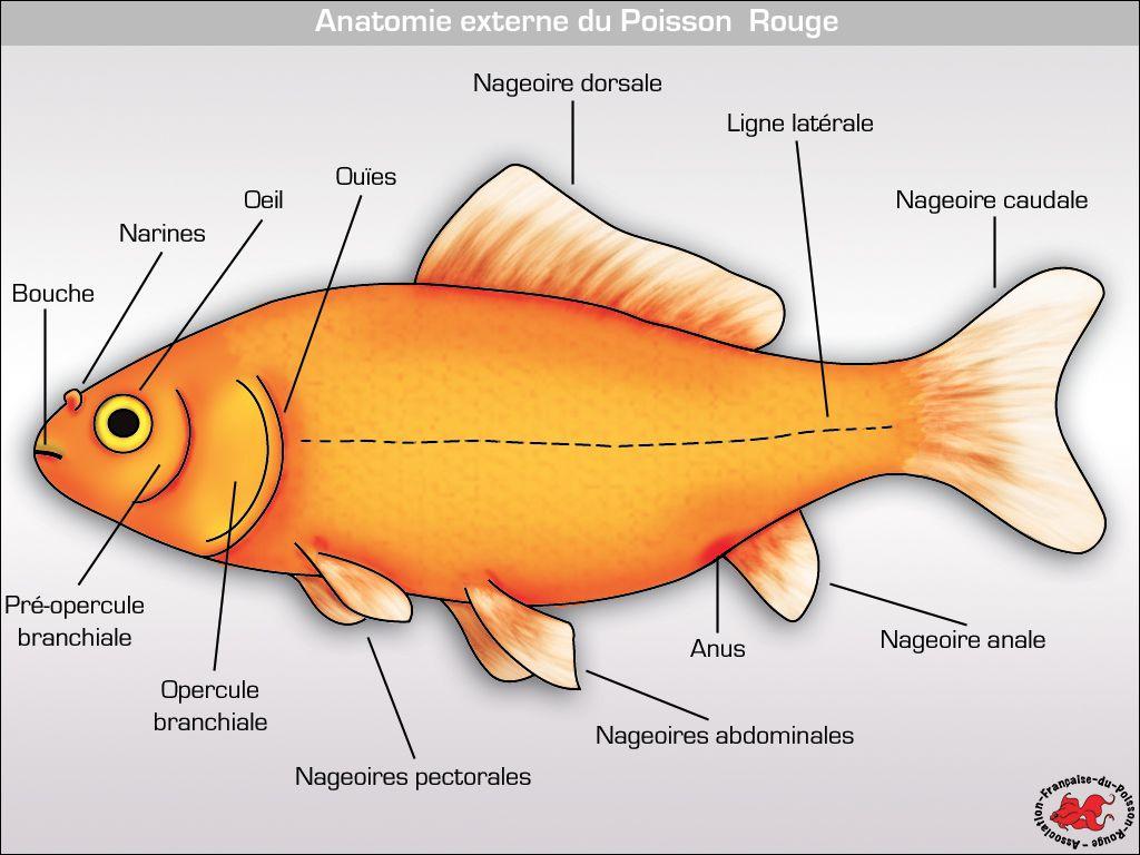 Anatomie Du Poisson Rouge | Poisson Rouge, Anatomie Du avec Poisson Rouge Jeux Gratuit En Ligne