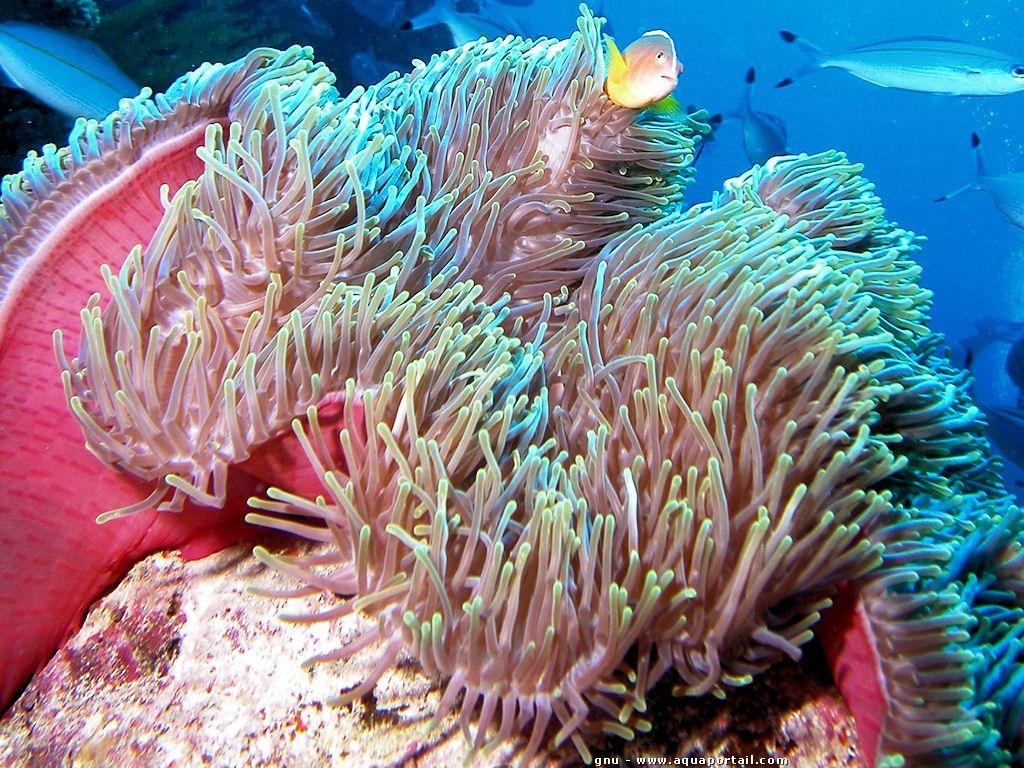 Anémone De Mer: Biologie, Aquarium, Reproduction   Anémone avec Anémone Des Mers