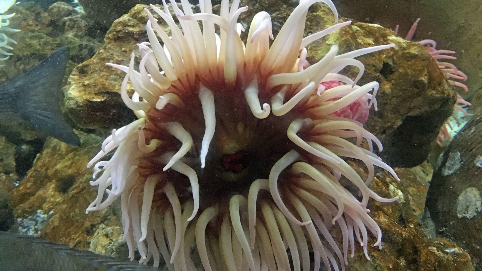 Anemone De Mer : Taille, Description, Biotope, Habitat concernant Anémone Des Mers