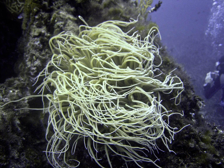 Anémone De Mer Verte | Aqua Plongée concernant Anémone Des Mers