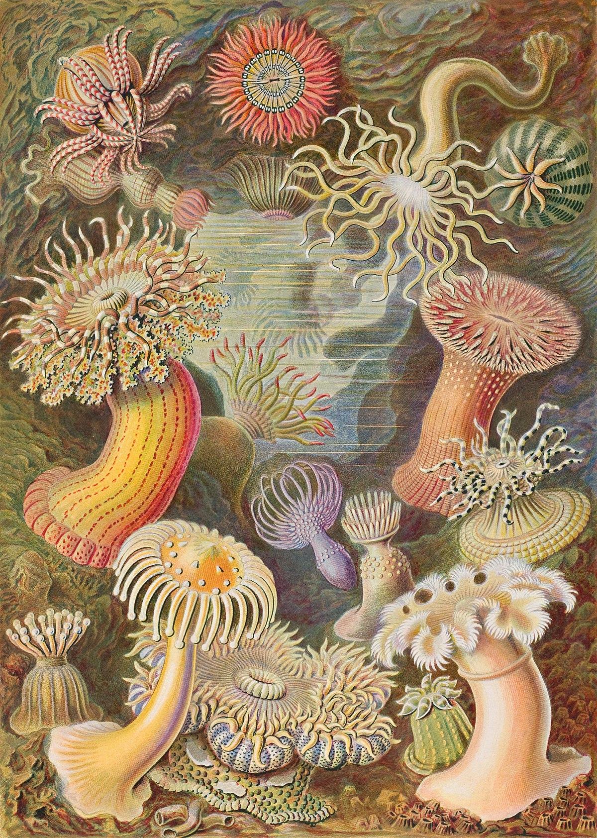 Anémone De Mer — Wikipédia à Anémone Des Mers