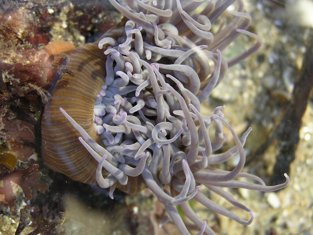 Anemonia Sulcata = Anemonia Viridis - Anémone De Mer Verte avec Anémone Des Mers