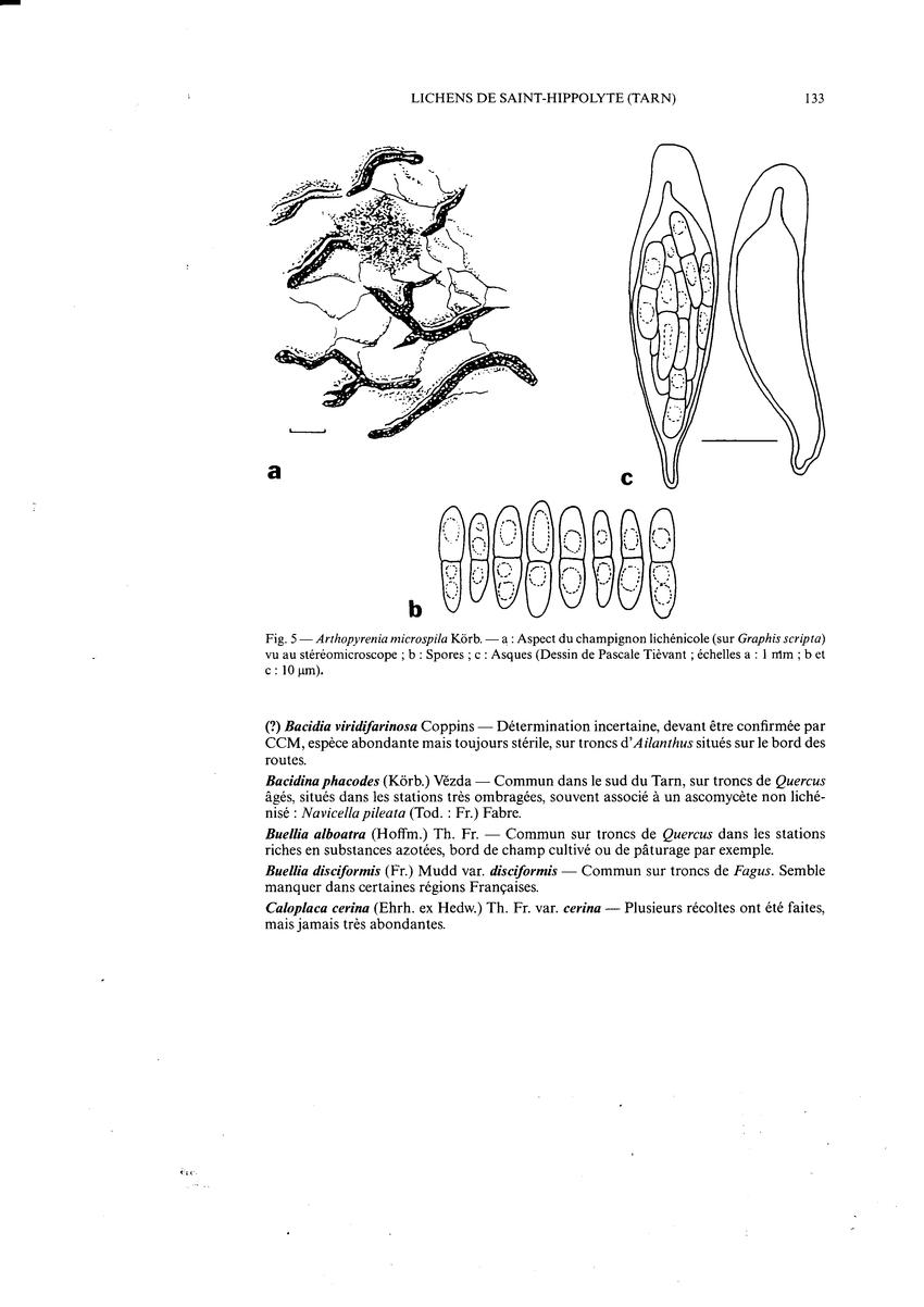 Arthopyrenia Microspila Kôrb. -A : Aspect Du Champignon concernant Dessiner Un Champignon