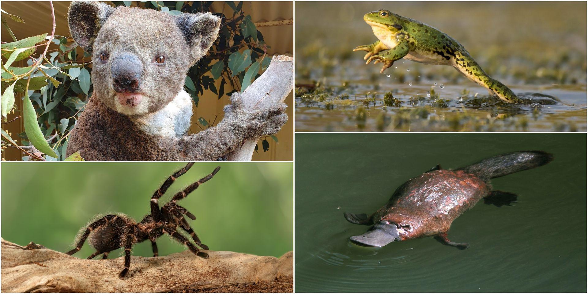 Australie: Plus D'un Milliard D'animaux Morts, 32 Espèces En destiné Animaux Qui Pondent Des Oeufs