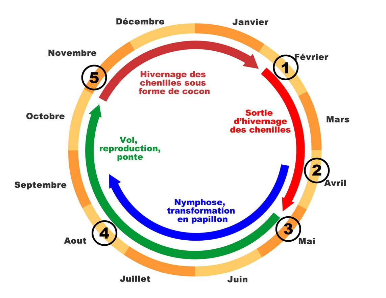 Biologie - France Pyrale Du Buis tout Cycle De Vie D Une Chenille