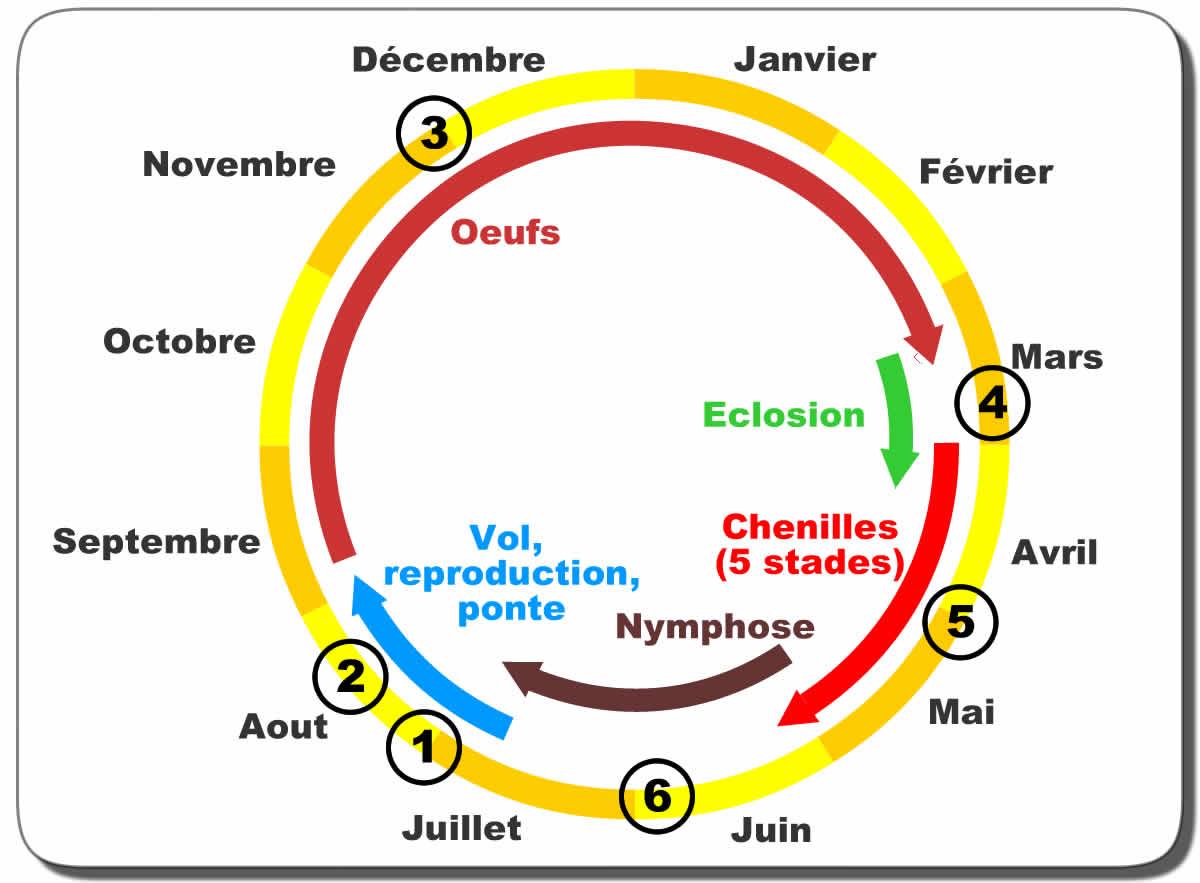 Biologie, Reproduction Et Cycle De La Processionnaire Du pour Cycle De Vie D Une Chenille