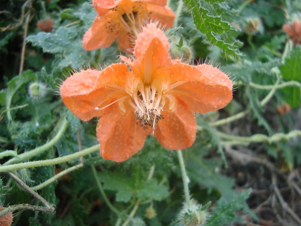 Caiophora Cirsiifolia | Nombre Aymara: Atapilla Región De Ar à Nombre De Region