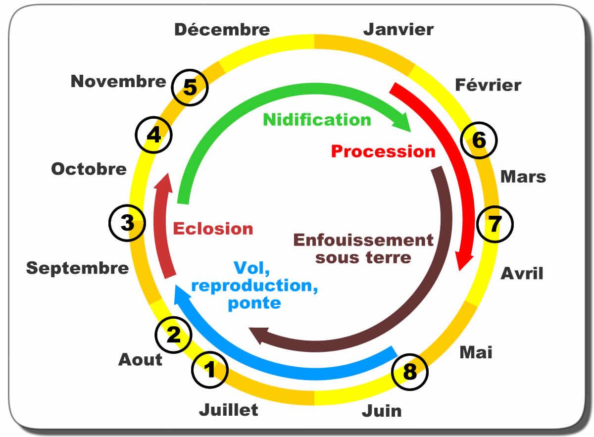 Chenille Processionnaire Du Pin : Biologie, Reproduction serapportantà Cycle De Vie D Une Chenille