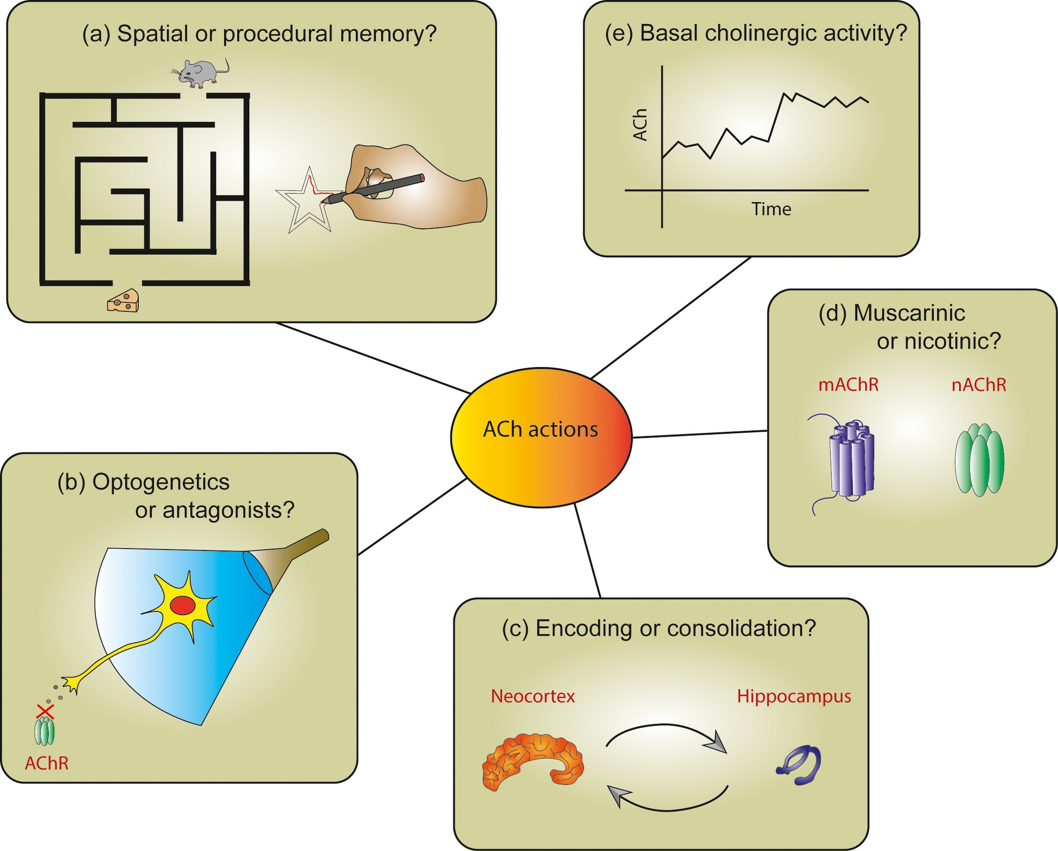Cholinergic Modulation Of The Hippocampal Region And Memory à Mineur D Or