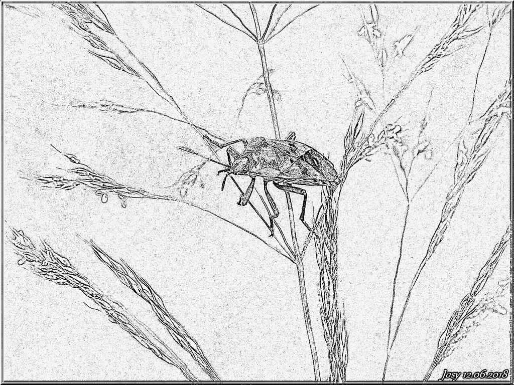 Coloriage Animal Insecte Punaise Arlequin À Imprimer Pour à Arlequin A Colorier