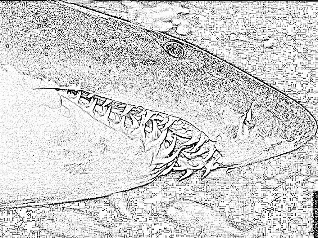 Coloriage Dents De Requin À Imprimer Pour Les Enfants - Dessin intérieur Dessin De Requin À Imprimer