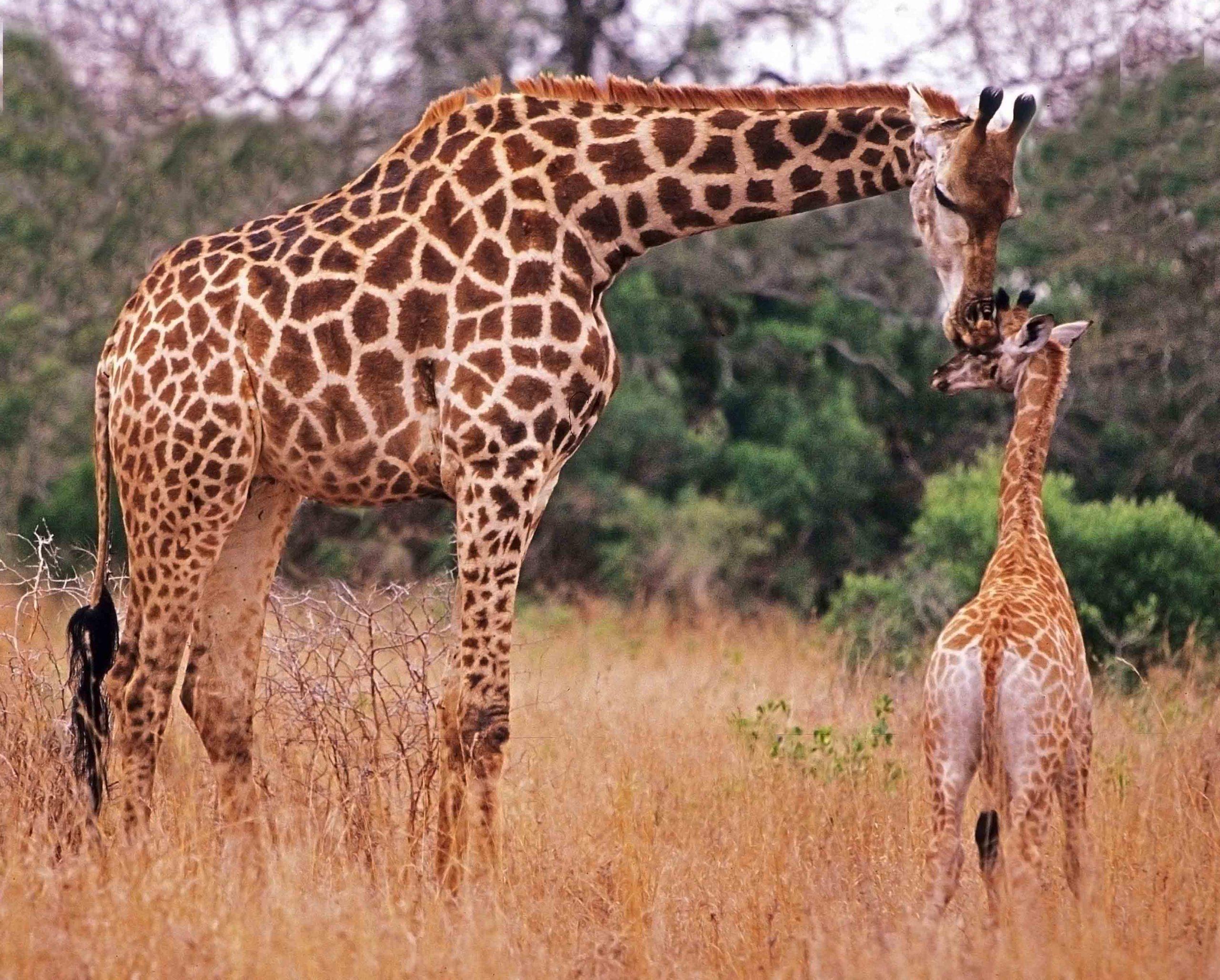 Coloriage Girafe Gratuit À Imprimer à Jeux De Girafe Gratuit