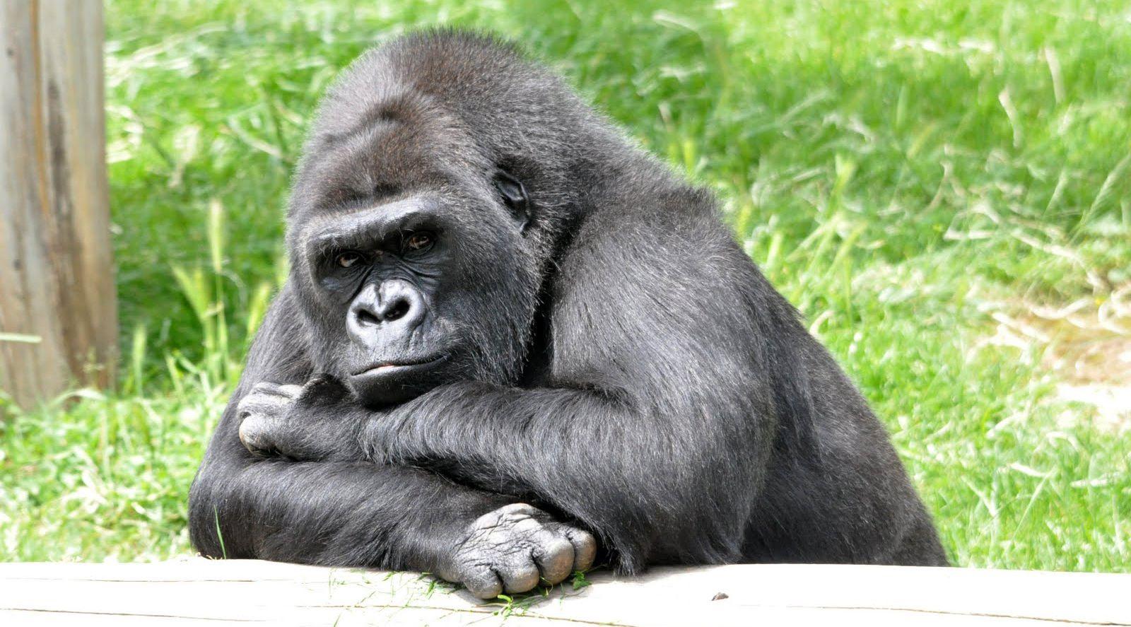 Coloriage Gorille À Colorier - Dessin À Imprimer | Gorille dedans Coloriage Gorille