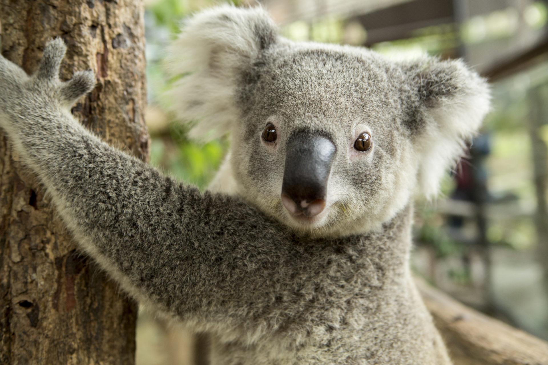 Coloriage Gratuit Koala À Imprimer - Un Max D'idées dedans Image A Colorier Gratuit A Imprimer