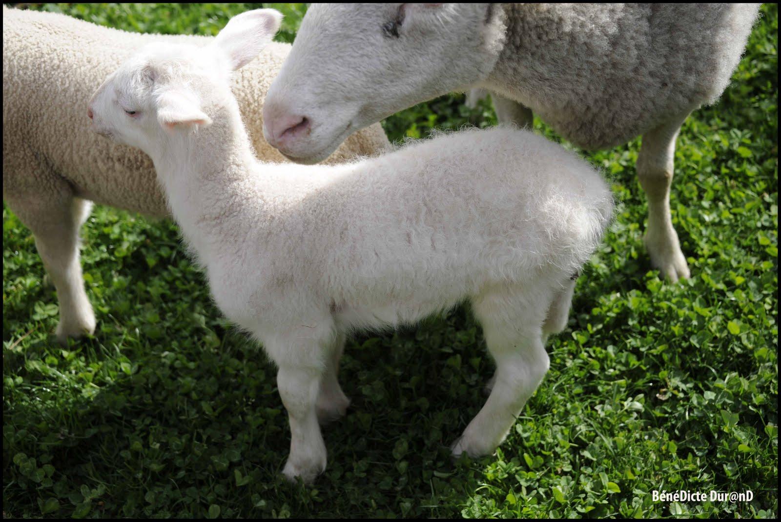 Coloriage Mouton Gratuit À Imprimer Et Colorier concernant Photo De Mouton A Imprimer