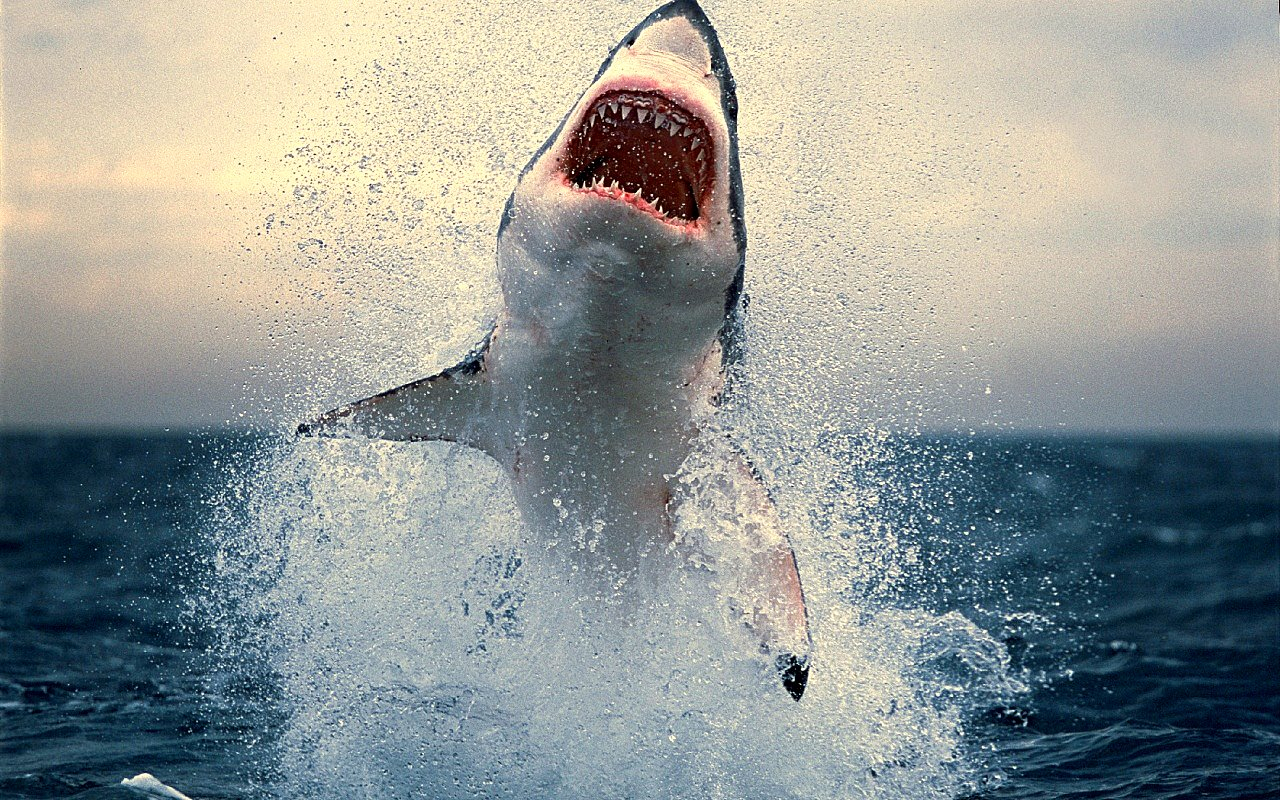 Coloriage Requin À Dessiner dedans Coloriage Requin Blanc Imprimer