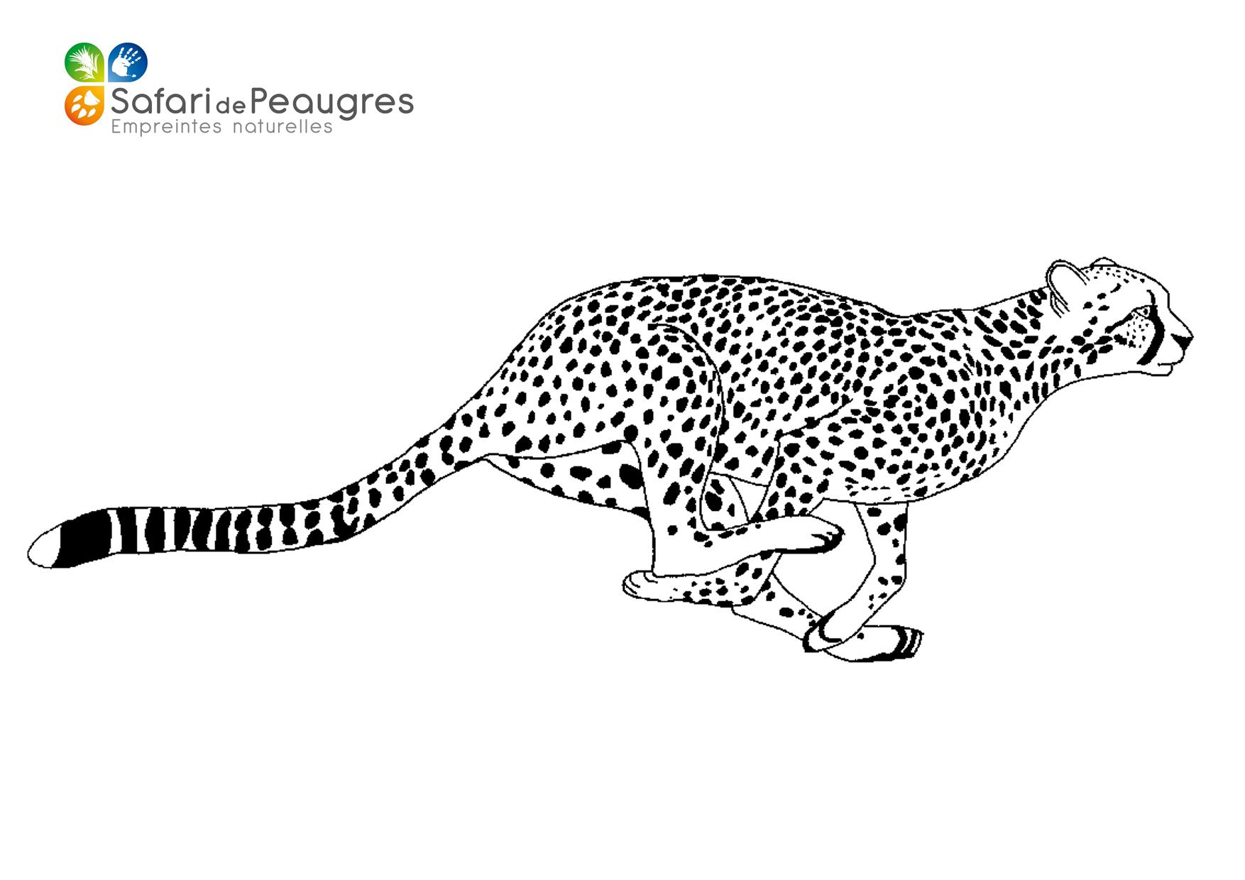 Coloriez Les Animaux Du Safari De Peaugres ! | Safari De destiné Guépard Dessin