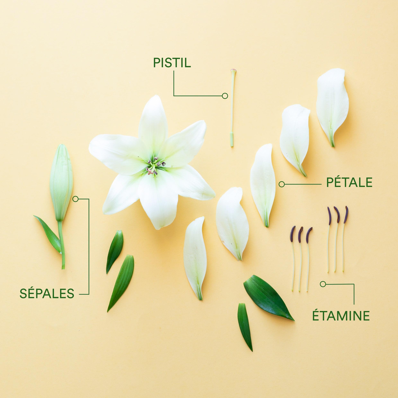 Comment Identifier Les Principales Parties D'une Fleur | L intérieur Schéma D Une Fleur