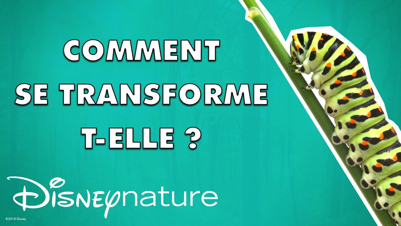Comment La Chenille Se Transforme-T-Elle En Papillon ? 🐛🦋 concernant Cycle De Vie D Une Chenille