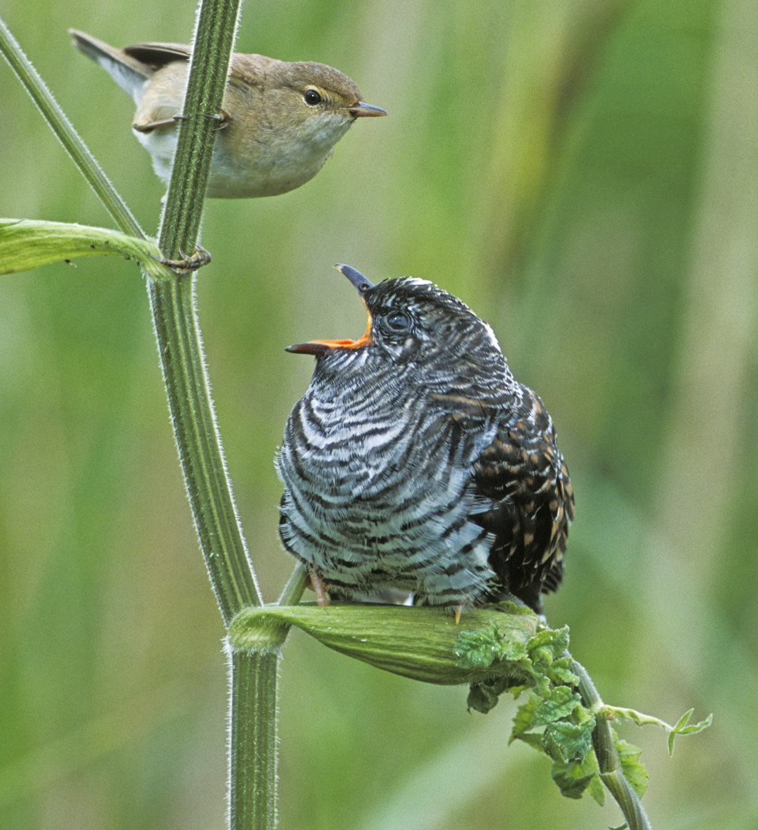 Comment Tromper Le Coucou, Cet Oiseau Squatteur De Nid avec Animaux Qui Pondent Des Oeufs