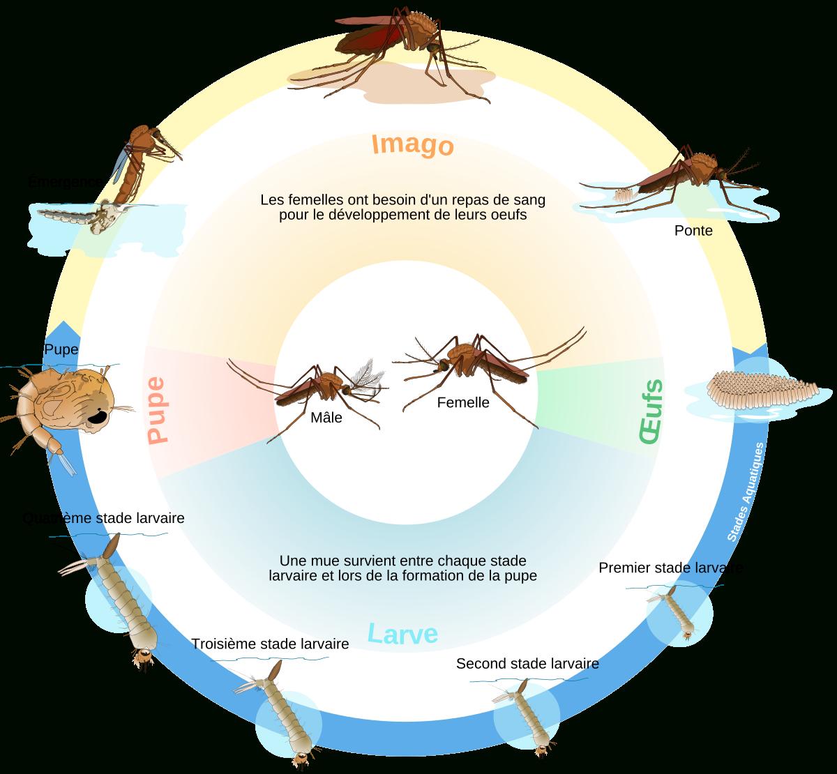 Cycle De Vie De L'insecte — Wikipédia encequiconcerne Cycle De Vie D Une Chenille