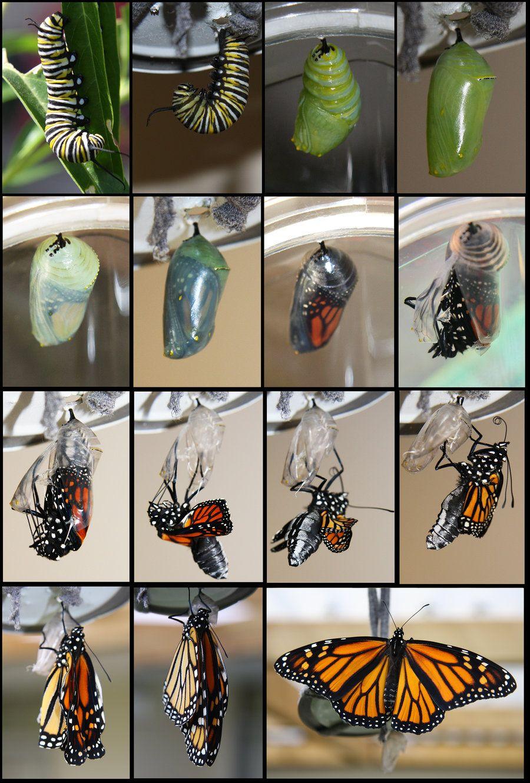 Cycle De Vie De Papillon | Cycle De Vie Du Papillon, Idées à Cycle De Vie D Une Chenille