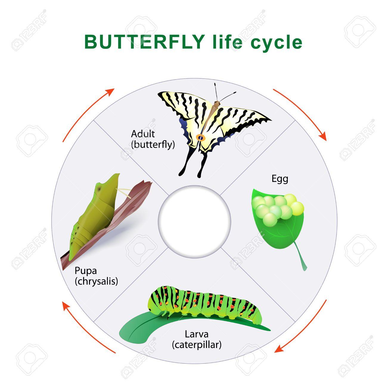 Cycle De Vie De Papillon. De La Chenille Au Papillon. Métamorphose. Machaon  Scarce avec Cycle De Vie D Une Chenille