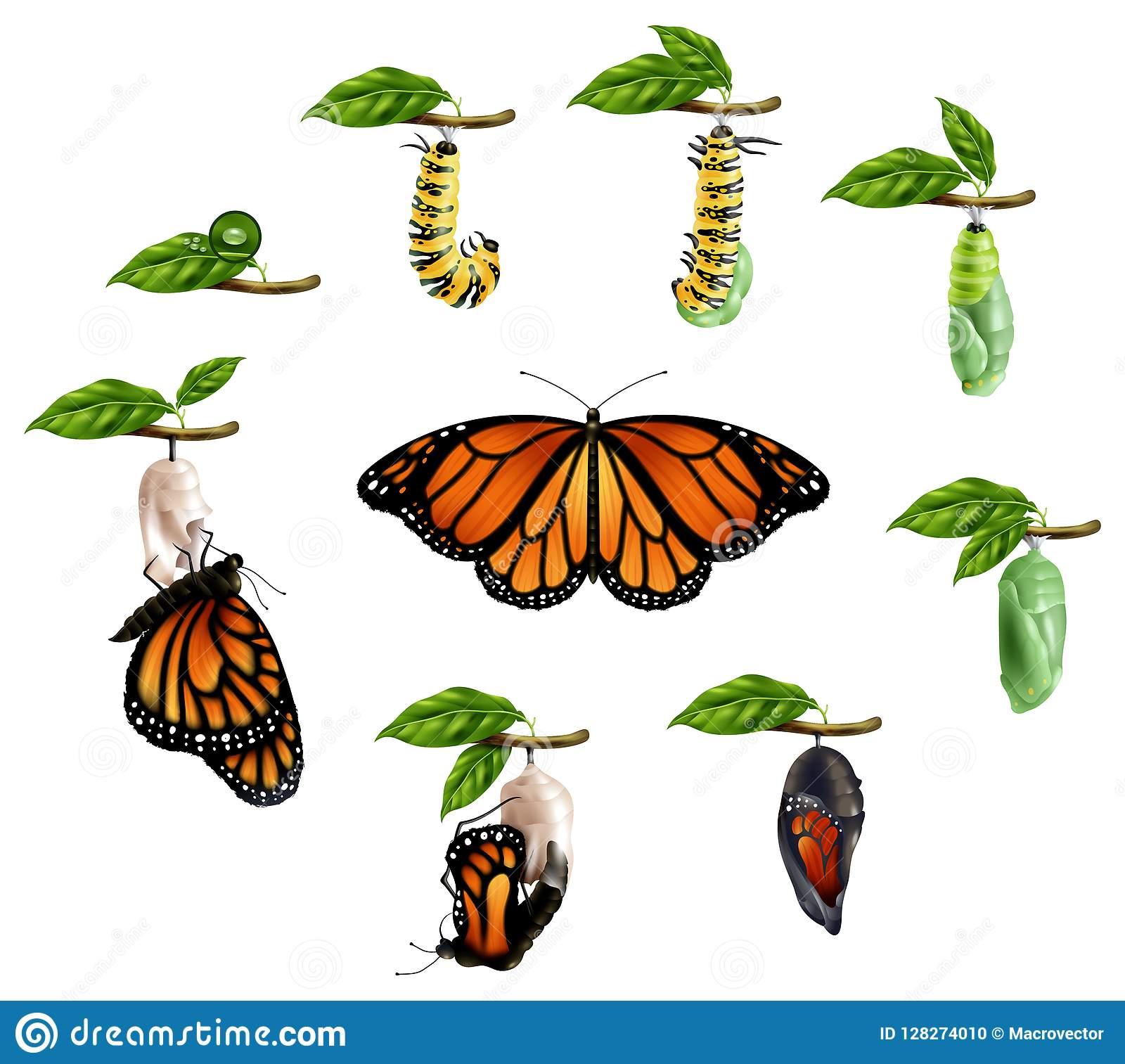 Cycle De Vie D'ensemble Réaliste De Papillon Illustration De tout Cycle De Vie D Une Chenille