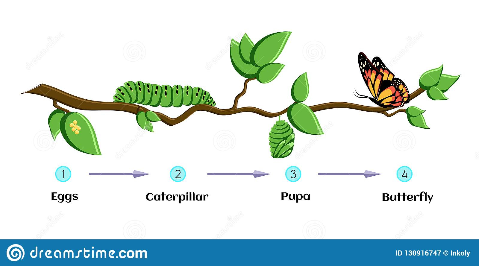 Cycle De Vie Des Oeufs De Papillon, Chenille, Chrysalides encequiconcerne Cycle De Vie D Une Chenille