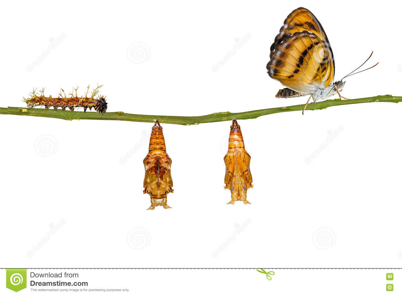 Cycle De Vie D'isolement Du Papillon Segeant De Couleur à Cycle De Vie D Une Chenille