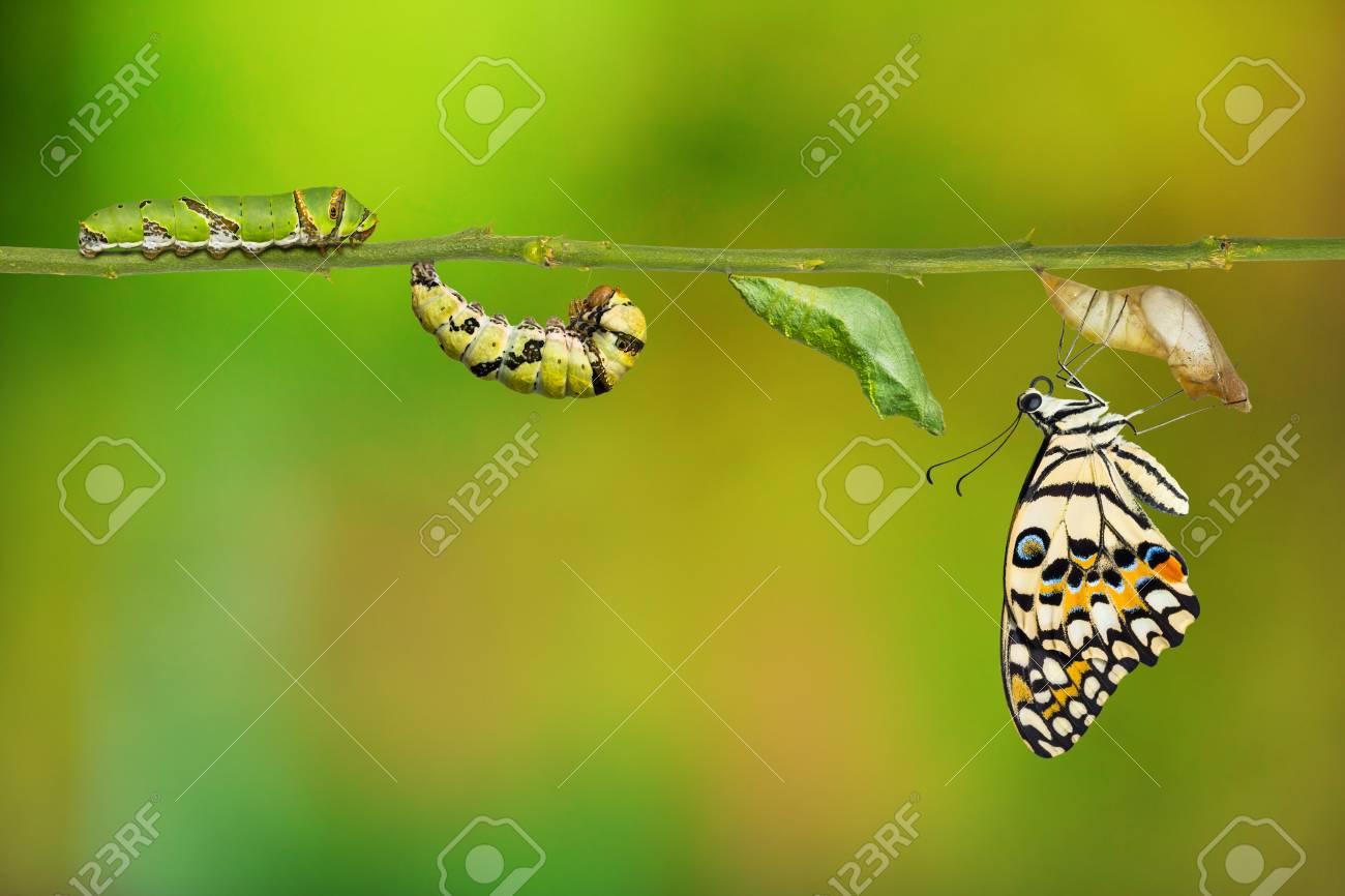 Cycle De Vie Du Papillon Citron Ou Du Papillon Citron (Papilio Demoleus),  De La Chenille À La Nymphe Et Sa Forme Adulte, Isolé Sur Fond De Nature  Avec avec Cycle De Vie D Une Chenille