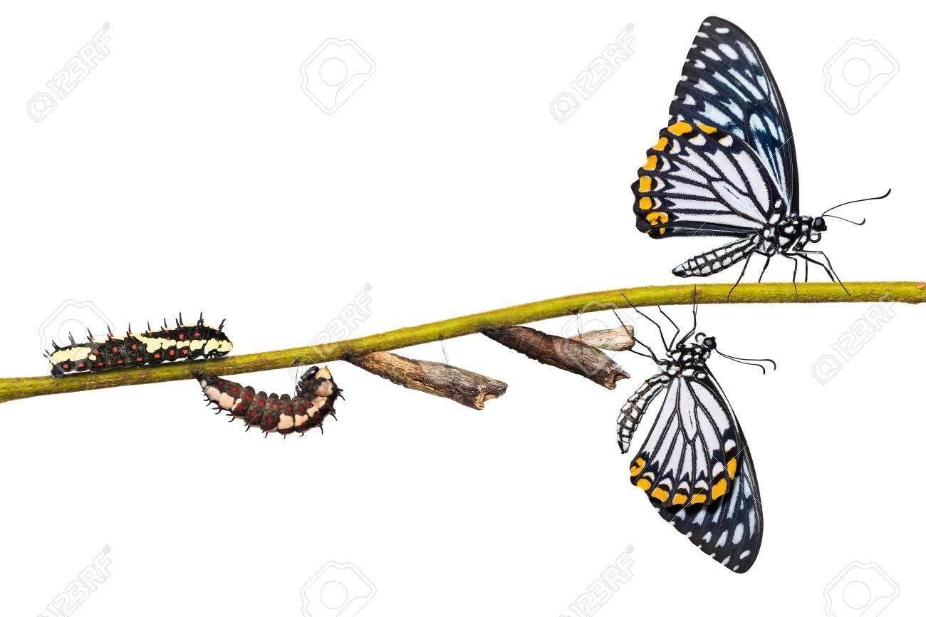 Cycle De Vie Du Papillon Mime Commun (Papilio Clytia) De La Chenille À La  Pupe Et Sa Forme Adulte, Isolé Sur Fond Blanc Avec Un Tracé De Détourage destiné Cycle De Vie D Une Chenille