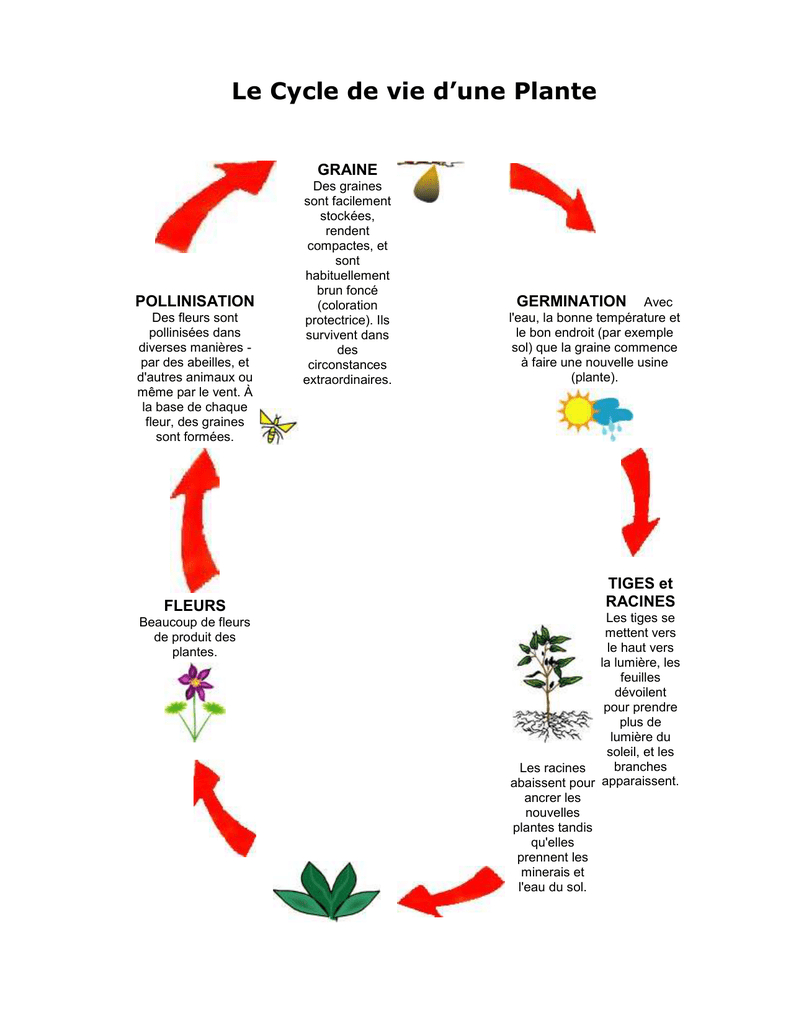 Cycle De Vie D`une Plante à Schéma D Une Fleur