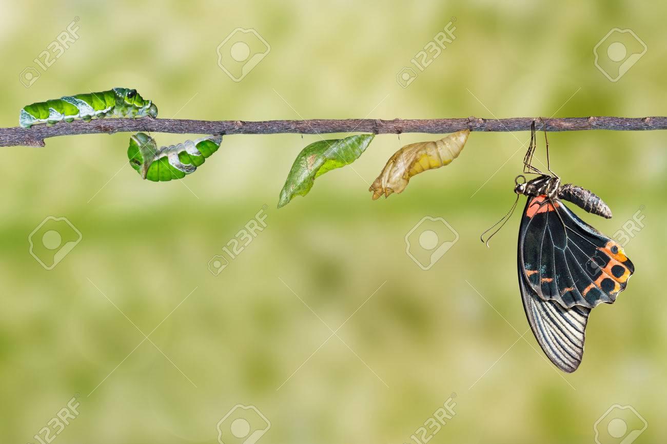 Cycle De Vie Et De La Transformation Du Mâle Grand Papillon Mormon De La  Chenille avec Cycle De Vie D Une Chenille