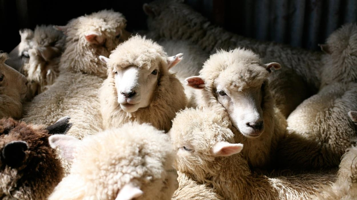 Des Moutons Mis En Quarantaine Après La Découverte D'un Cas intérieur Photo De Mouton A Imprimer