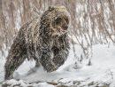 Des Ours Hivernent Plus Tard Dans Le Nord De La C.-B dedans Les Animaux Qui Hivernent