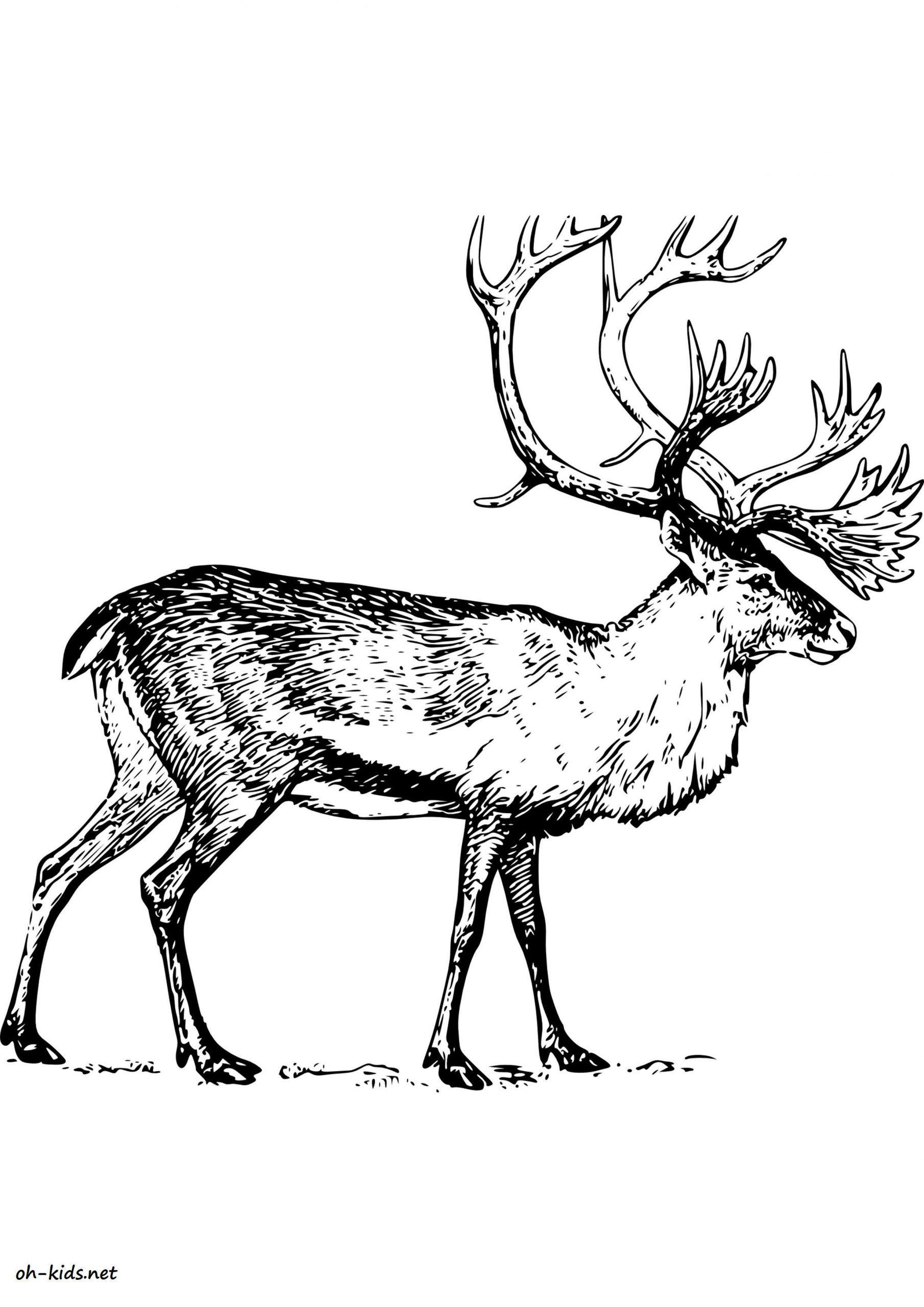 Dessin #1295 - Coloriage Caribou À Imprimer - Oh-Kids à Caribou Dessin