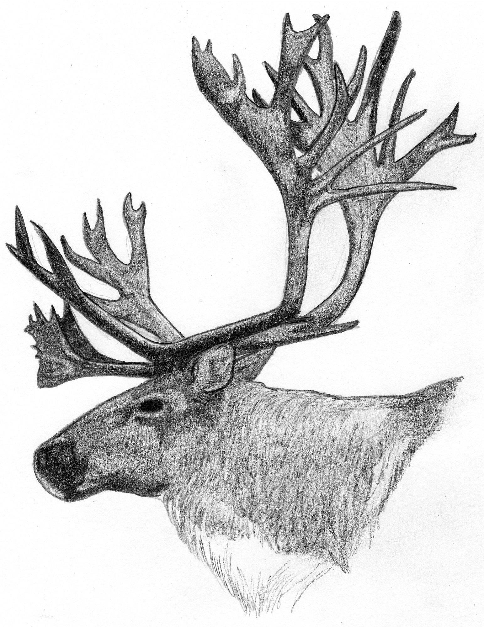 Dessins Gratuits À Colorier - Coloriage Caribou À Imprimer serapportantà Caribou Dessin