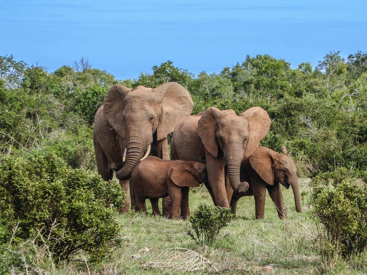 Eléphant De Forêt D'afrique – Tous Les Animaux à Les Animaux De L Afrique