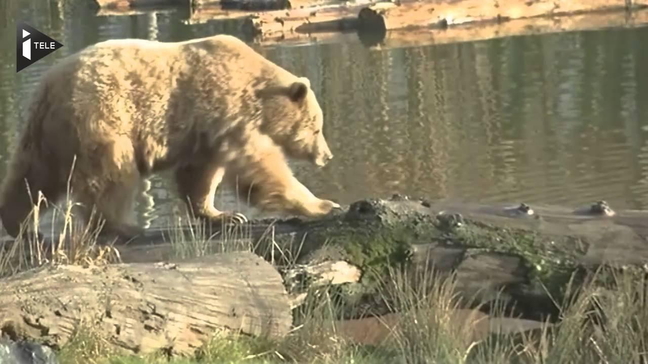 En Moselle, Les Ours N'hivernent Plus À Cause Des Températures Douces encequiconcerne Les Animaux Qui Hivernent