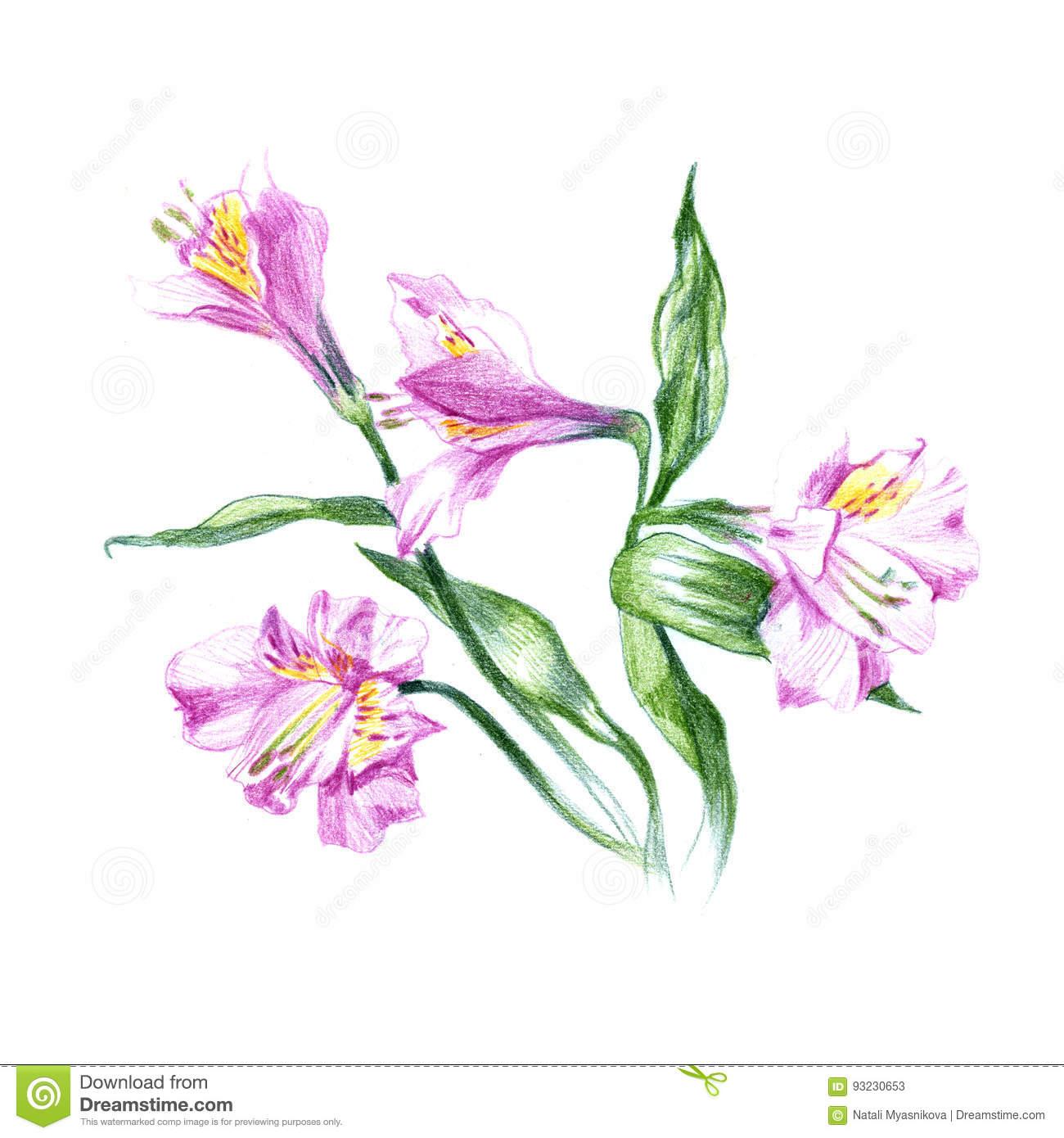 Encre, Crayon, Croquis De Fleur D'aquarelle Fond De Schéma à Schéma D Une Fleur