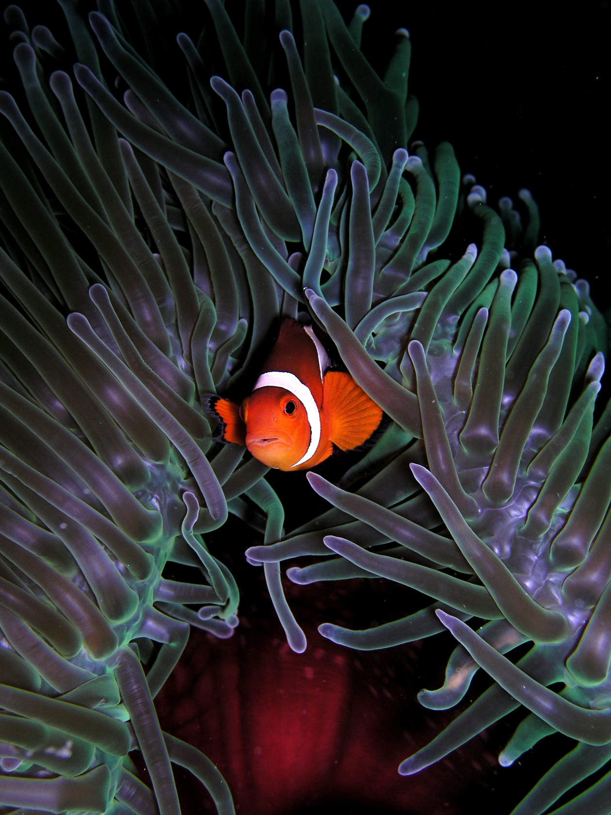 File:amphiprion Ocellaris (Clown Anemonefish) In Heteractis intérieur Anémone Des Mers
