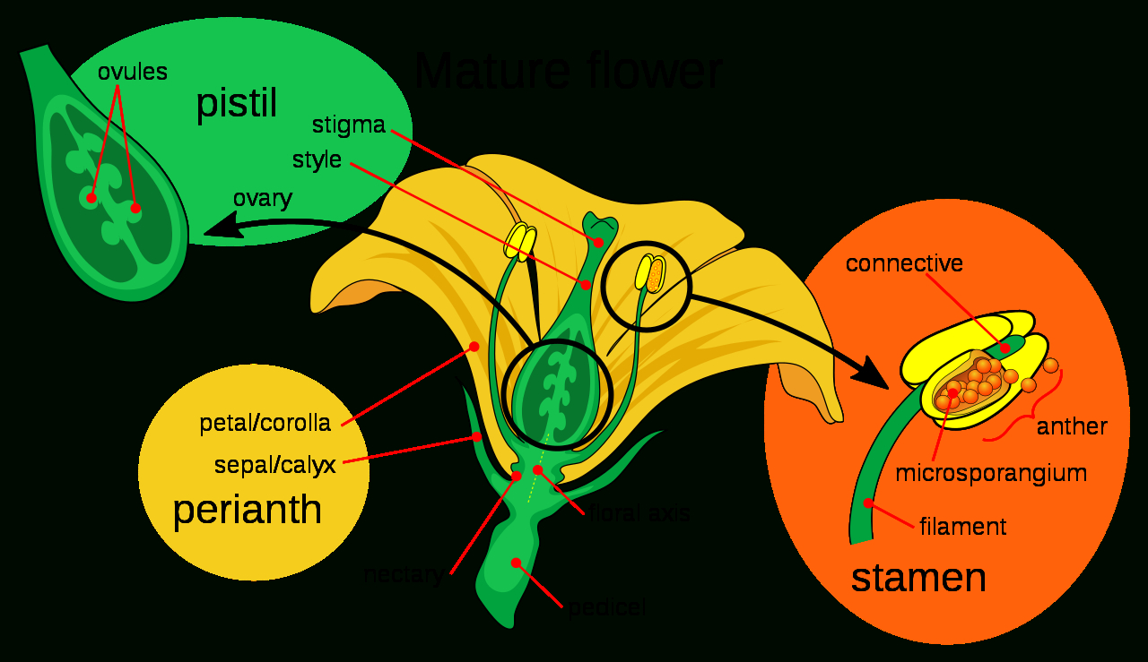 File:mature Flower Diagram.svg - Wikimedia Commons destiné Schéma D Une Fleur