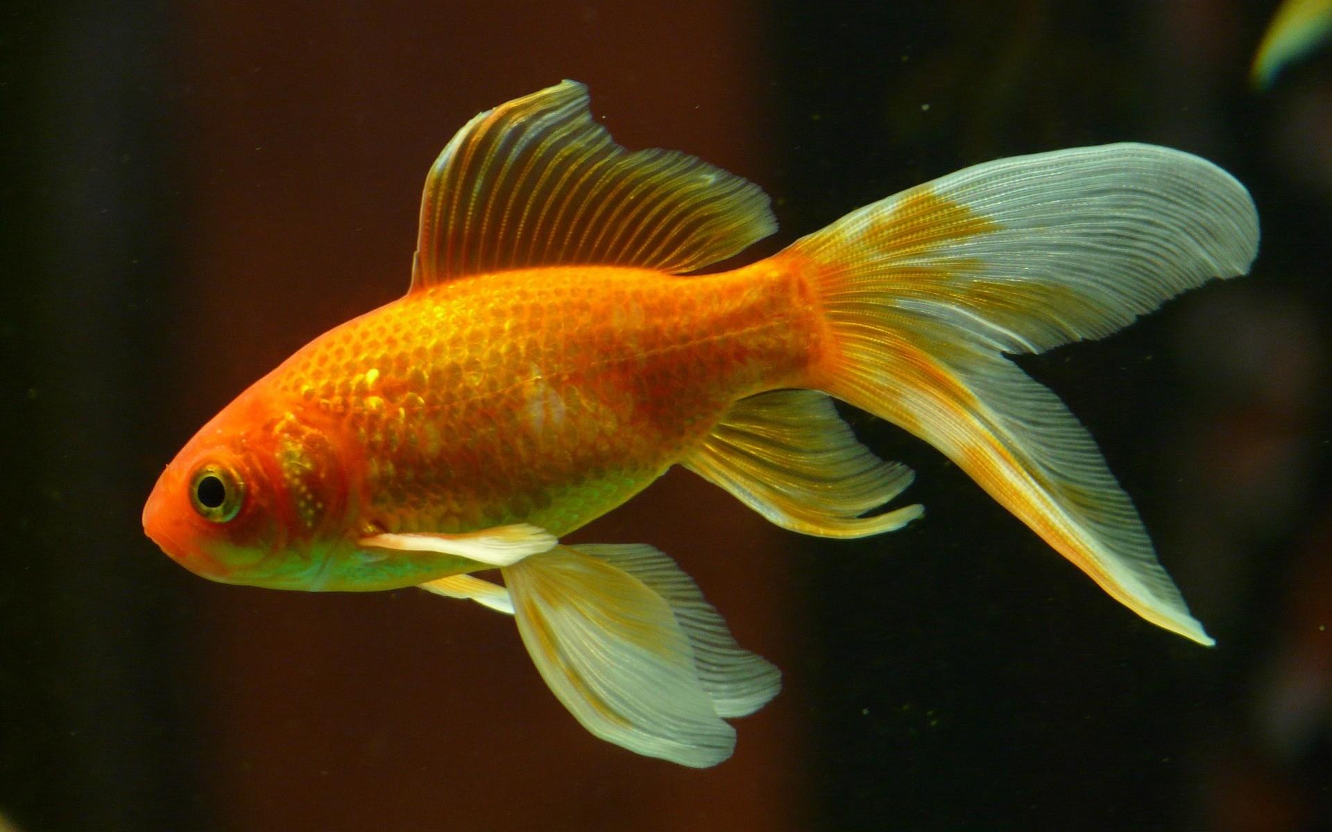 Fonds D'écran Aquarium Poissons Gratuits tout Poisson Rouge Jeux Gratuit En Ligne