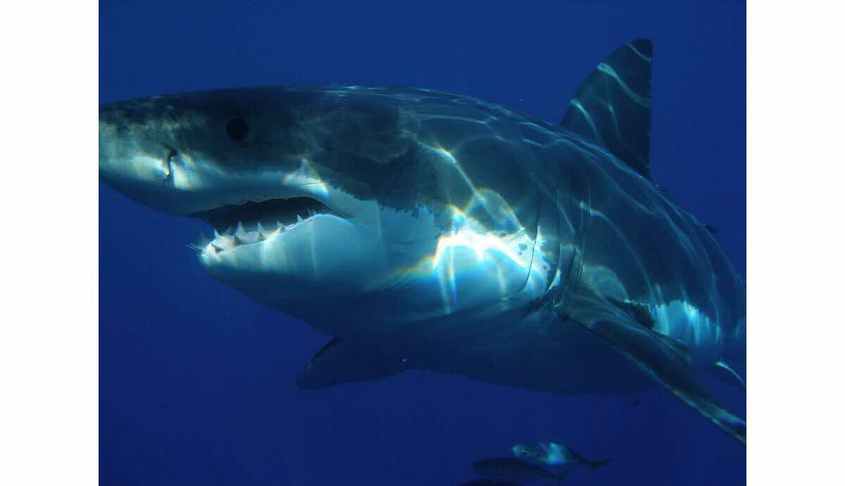 France-Monde | Un Surfeur Échappe À Un Requin Blanc En Le dedans Jeux Gratuit Requin Blanc