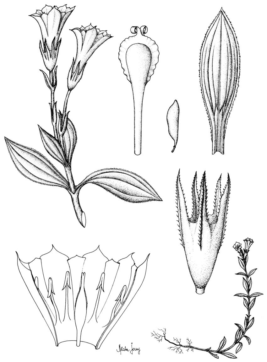 Gentiana Jouyana Hul : A, Plante Entière ; B, Feuille, Face avec Schéma D Une Fleur