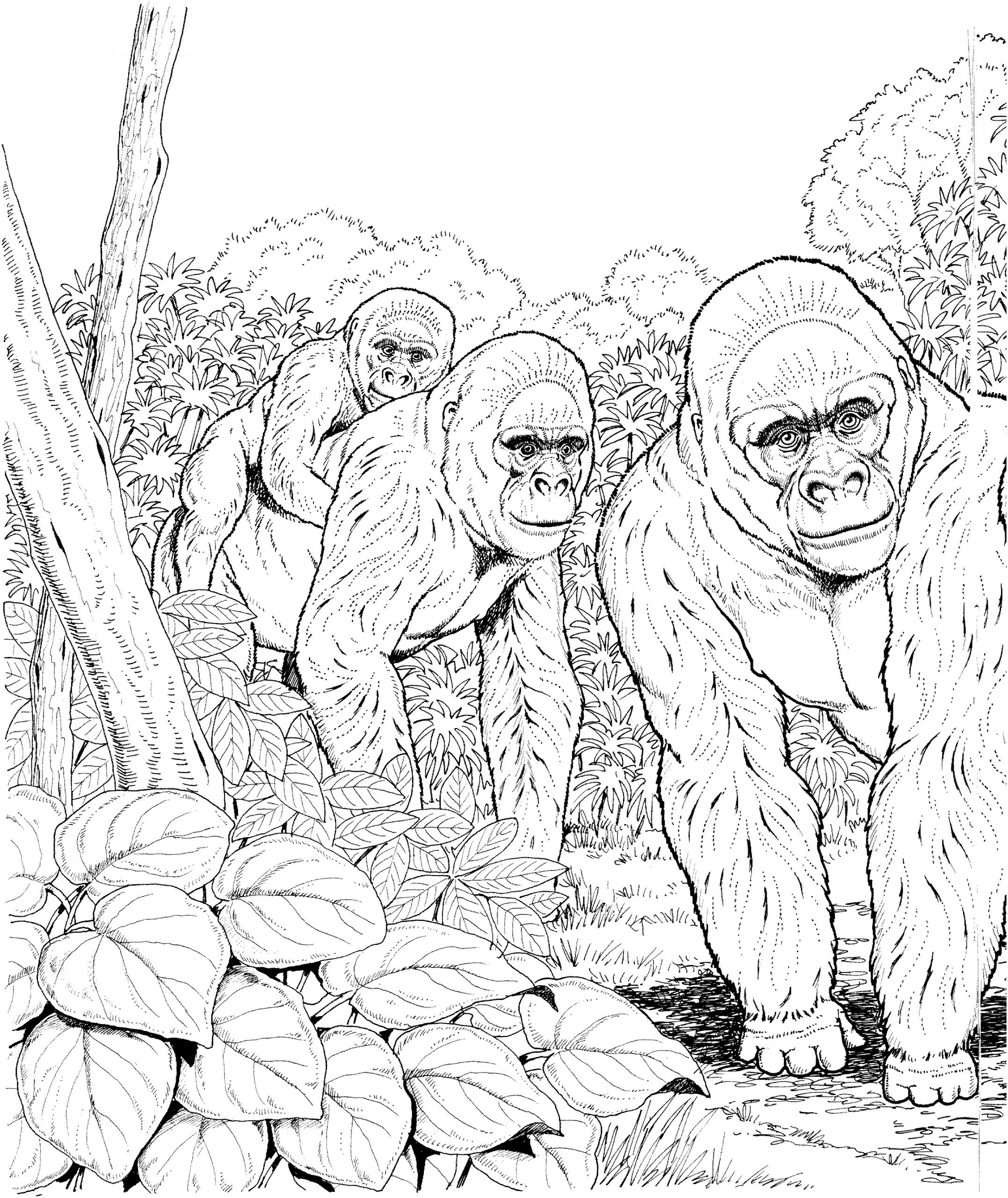 Gorille #37 (Animaux) – Coloriages À Imprimer tout Coloriage Gorille